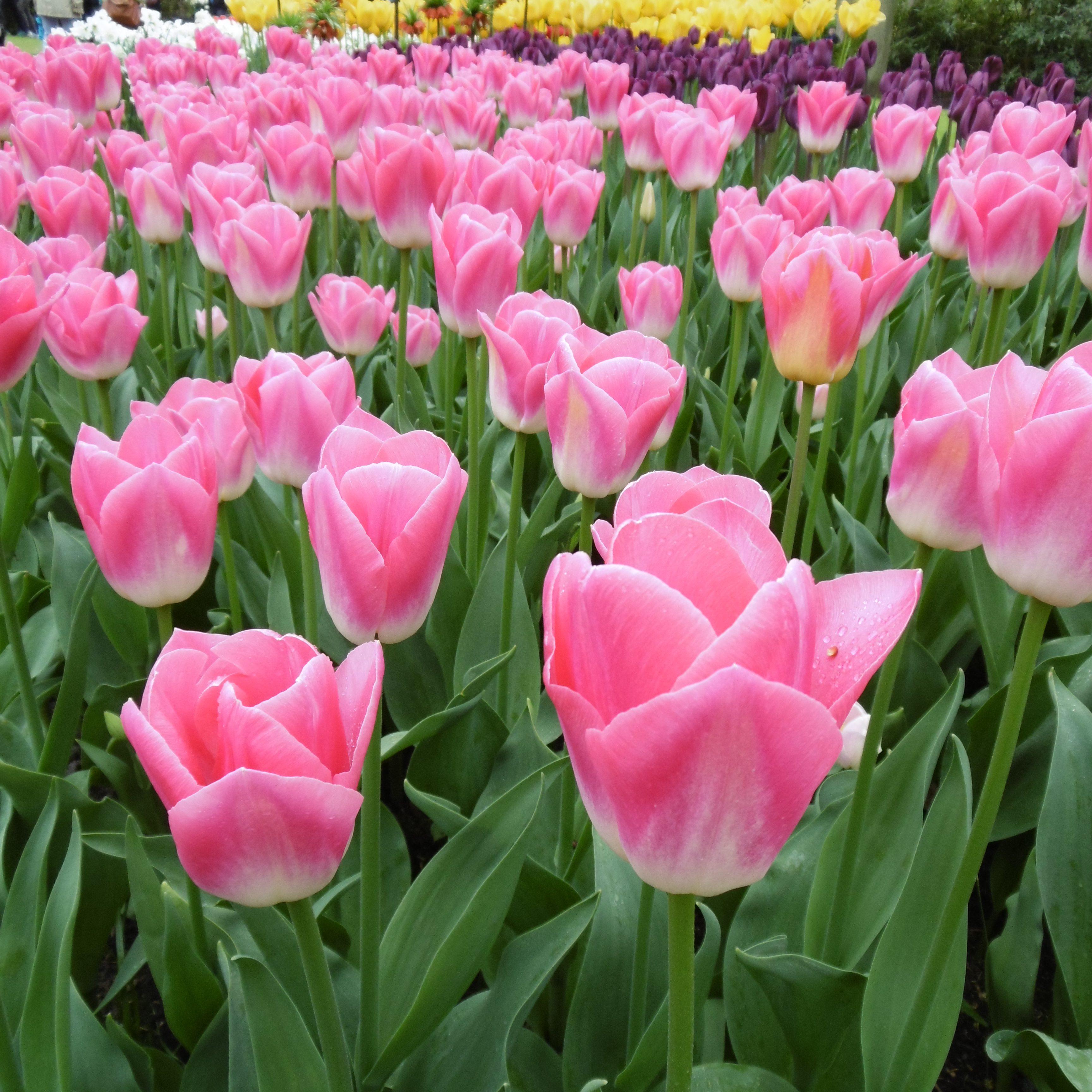 pink tulips keukenhof